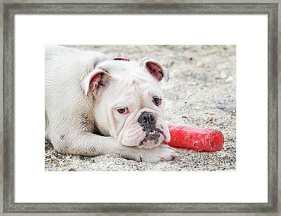 White Bull Dog Framed Print
