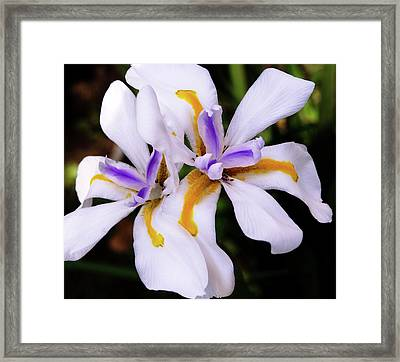 White Butterfly Iris Framed Print by Marie Hicks