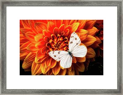 White Butterfly On Dahlia Framed Print
