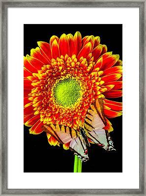 White Butterfly On Daisy Framed Print