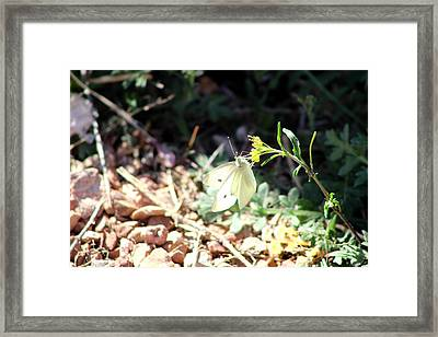 White Butterfly On Goldenseal Framed Print by Colleen Cornelius