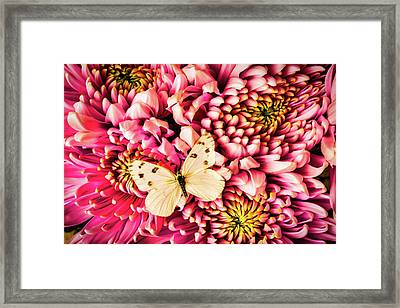 White Butterfly On Spider Mum Framed Print