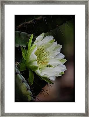 White Cactus Flower  Framed Print