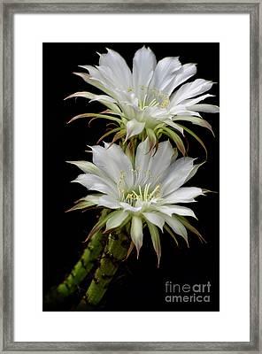 White Cactus Flowers Framed Print