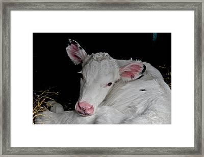 White Calf Framed Print by Odd Jeppesen