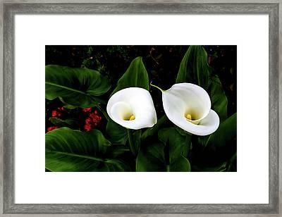 White Calla Lily Framed Print