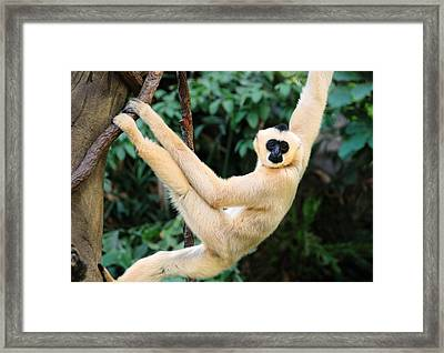 White-cheeked Gibbon Framed Print by Jim Hughes