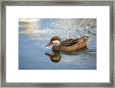 White-cheeked Pintail Framed Print