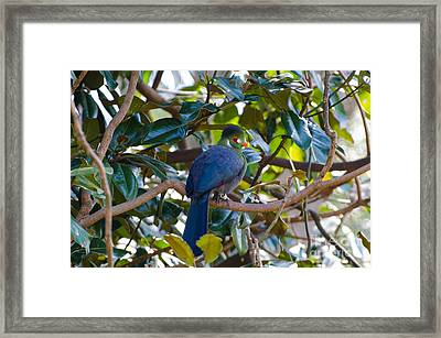 White-cheeked Turaco Framed Print by Donna Brown