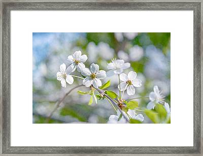 Framed Print featuring the photograph White Cherry Blossoms In Spring by Alexander Senin