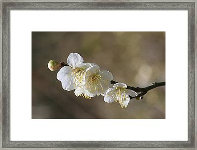 White Cherry Flower Framed Print