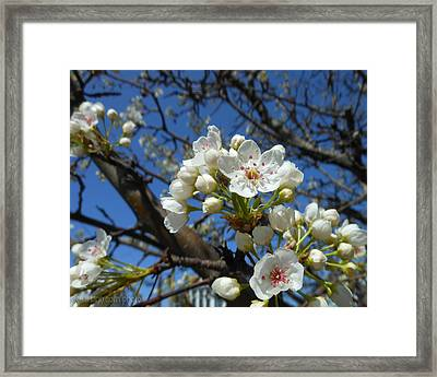 White Blossoms Blooming Framed Print