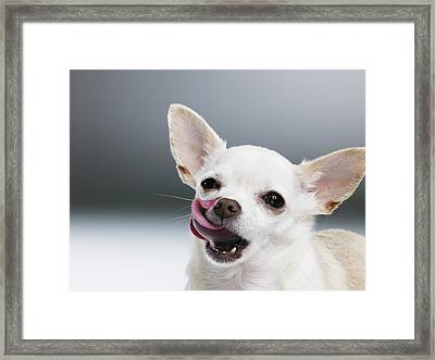 White Chihuahua Licking Lips, Close-up, Portrait Framed Print