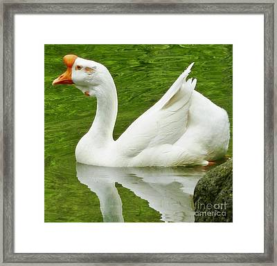 White Chinese Goose Framed Print by Susan Garren