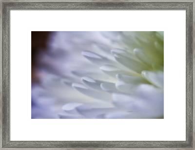 White Chrysanthemum Framed Print by Frank Fullard