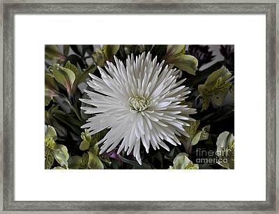 White Chrysanthemum Framed Print