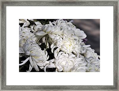 White Chrysanthemum Framed Print by Clayton Bruster