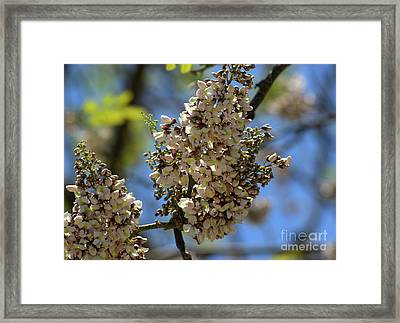 White Clusters With Blue Sky Framed Print