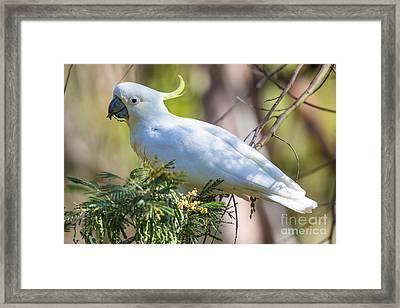 White Cockatoo Framed Print by B.G. Thomson