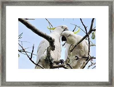 White Cockatoos Framed Print by Kaye Menner