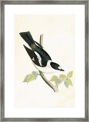 White Collared Flycatcher Framed Print