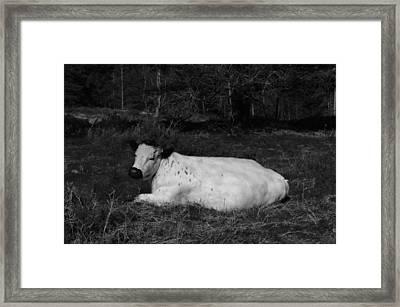 White Cow Luxuriates Framed Print by Adrian Wale
