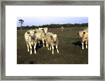 White Cows Framed Print by Sally Weigand