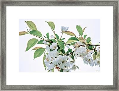 White Crabapple Blossoms Framed Print
