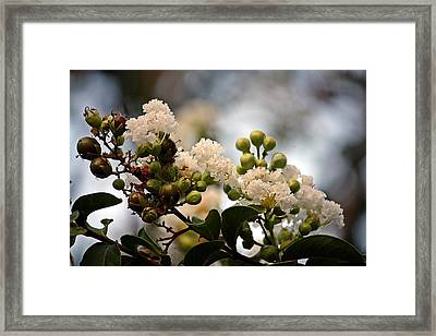 Framed Print featuring the photograph White Crape Myrtle- Fine Art by KayeCee Spain