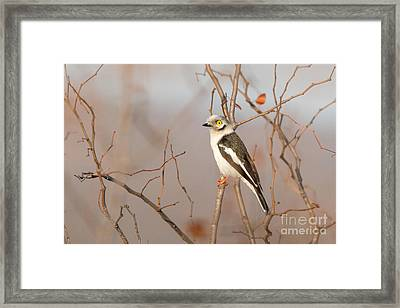 Framed Print featuring the photograph White-crested Helmet-shrike - Bagadais Casque - Prionops Plumatus by Nature and Wildlife Photography