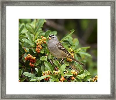 White Crowned Sparrow 2 Framed Print by Linda Brody
