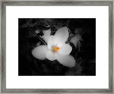 White Crocus - Edit Framed Print