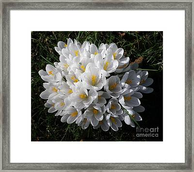 White Crocuses Framed Print