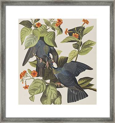 White Crowned Pigeon Framed Print by John James Audubon