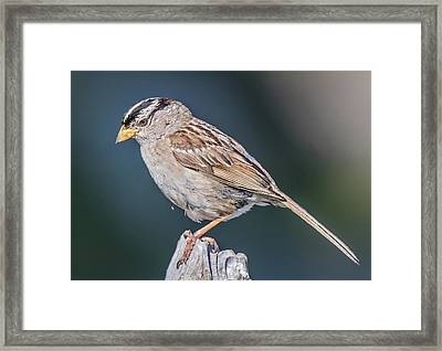 White-crowned Sparrow Framed Print by Carl Olsen