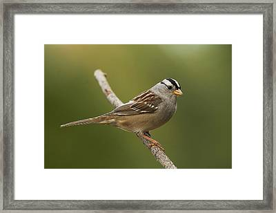 White-crowned Sparrow Framed Print by Doug Herr