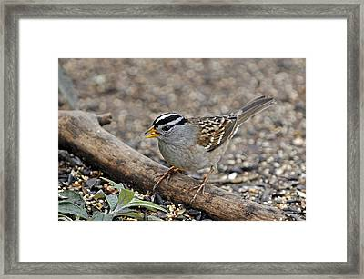 White Crowned Sparrow With Seeds Framed Print by Laura Mountainspring