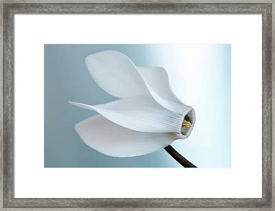 Framed Print featuring the photograph White Cyclamen. by Terence Davis