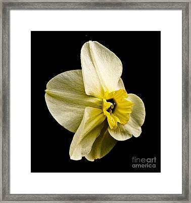 White Daffodil  Framed Print by Emilio Lovisa