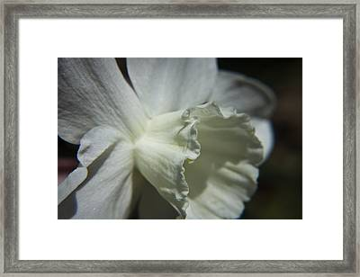 White Daffodil Framed Print by Teresa Mucha