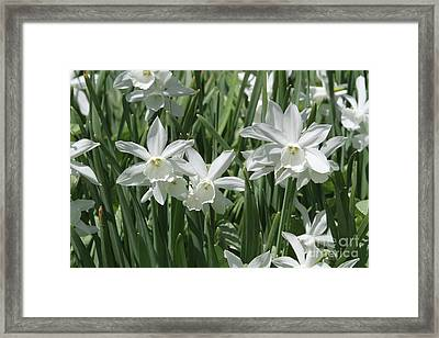 White Daffodils  Framed Print by Judy Whitton