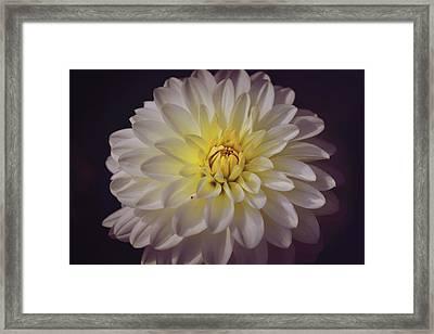 White Dahlia Framed Print