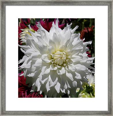 Framed Print featuring the photograph White Dahlia Photo by Judy Mercer