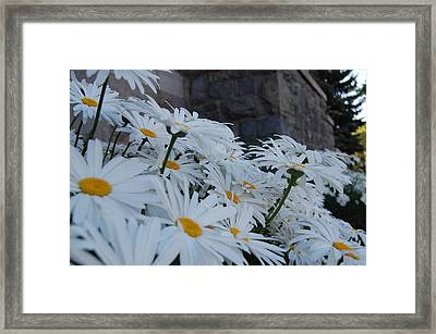 White Daisies Framed Print by Jean Booth