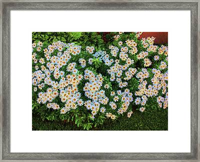 Framed Print featuring the photograph White Daisy Bush by Roger Bester