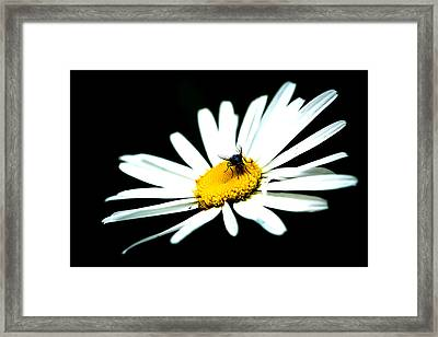 Framed Print featuring the photograph White Daisy Flower And A Fly by Alexander Senin