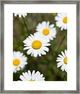 White Dasies Framed Print by Edward Myers