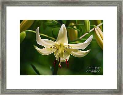 Framed Print featuring the photograph White Day Lily 20120614_91a by Tina Hopkins
