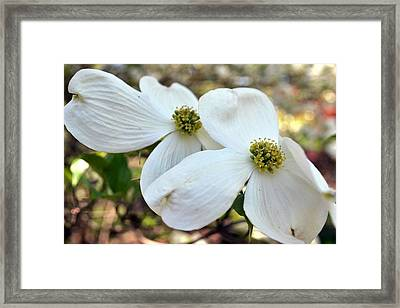 White Dogwood Framed Print by Deepa Sahoo