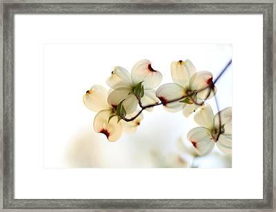 White Dogwood Flower 2 Framed Print